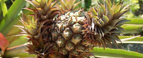 Ananas Diät - Ananas als Fatburner zum abnehmen
