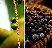 Die Acai-Beere ist gut zum Abnehmen Diät und Anti Aging